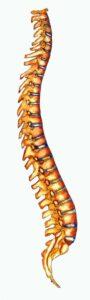 Lordose cervicale et lombaire et cyphose dorsale